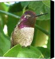 Annas Hummingbird Canvas Prints - At Rest Canvas Print by C Whitehawk