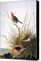 Finch Canvas Prints - Audubon: Finch Canvas Print by Granger