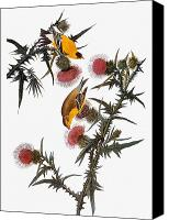 Ornithology Canvas Prints - Audubon: Goldfinch Canvas Print by Granger