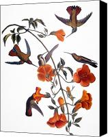 Mango Canvas Prints - Audubon: Hummingbird Canvas Print by Granger