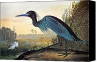 Little Birds Canvas Prints - Audubon: Little Blue Heron Canvas Print by Granger