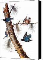 Flk Canvas Prints - Audubon: Nuthatch Canvas Print by Granger