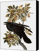 Illustration Photo Canvas Prints - Audubon: Raven Canvas Print by Granger
