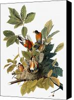 Flk Canvas Prints - Audubon: Robin Canvas Print by Granger