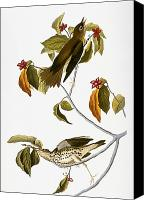 Flk Canvas Prints - Audubon: Thrush Canvas Print by Granger