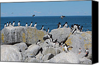 Razorbill Photo Canvas Prints - Auk Island Canvas Print by Bruce J Robinson