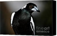 Australian Animal Canvas Prints - Australian Magpie Canvas Print by John Buxton
