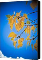 Autumn Photographs Canvas Prints - Autumn Aspen Leaves and Blue Sky Canvas Print by James Bo Insogna