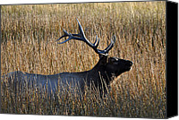 Yellowstone Park Canvas Prints - Autumn Bull Elk in Yellowstone National Park Canvas Print by Bruce Gourley