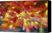 Selection Canvas Prints - Autumn Color Of Maple Tree Leaves Canvas Print by Natural Selection Craig Tuttle