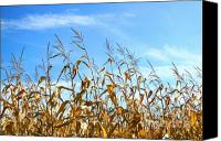 Rural Scenery Canvas Prints - Autumn corn Canvas Print by Sandra Cunningham