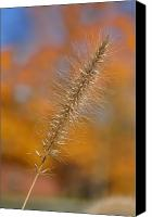 Foxtail Canvas Prints - Autumn Foxtail - Single Canvas Print by Frank Mari