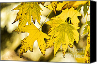 Autumn Photographs Canvas Prints - Autumn Maple Leaves Canvas Print by James Bo Insogna