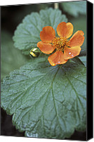 Avens Canvas Prints - Avens (geum georgenberg) Canvas Print by Maxine Adcock