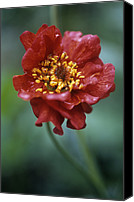 Avens Canvas Prints - Avens (geum mrs Bradshaw) Canvas Print by Maxine Adcock