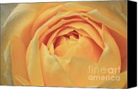 Flower Of Life Canvas Prints - Awakening Yellow Bare Root Rose Canvas Print by Ryan Kelly