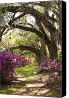 Live Oaks Canvas Prints - Azaleas and Live Oaks at Magnolia Plantation Gardens Canvas Print by Dustin K Ryan