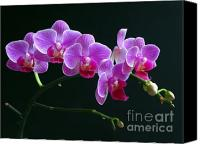 Orchidaceae Canvas Prints - Baby Bloomers Canvas Print by Juergen Roth