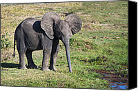 Baby Elephant Canvas Prints - Baby Elephant Canvas Print by Marion McCristall