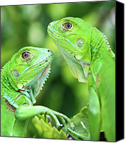 Animals In The Wild Canvas Prints - Baby Iguanas Canvas Print by Patti Sullivan Schmidt