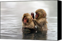 "Animals In The Wild Canvas Prints - Baby Japanese Macaques ""snow Monkeys"" Canvas Print by Oscar Tarneberg"