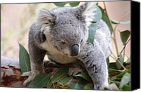 Koala Canvas Prints - Baby koala Canvas Print by Meeli Sonn