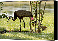Bird Family Canvas Prints - Baby Sandhill with Mom Canvas Print by Carol Groenen