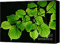 Lime Canvas Prints - Back Lighted Green Leaves  Canvas Print by Jennie Marie Schell