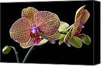 Orchidaceae Canvas Prints - Baeutiful Orchids Canvas Print by Garry Gay