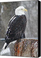 Bald Eagle Canvas Prints - Bald Eagle 2 Canvas Print by Scott Hovind