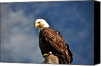 Bald Eagle Canvas Prints - Bald Eagle Homer Alaska Canvas Print by Debra  Miller