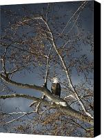 Natural Storm Canvas Prints - Bald Eagle In A Tree Canvas Print by Con Tanasiuk