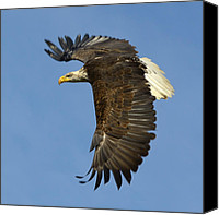 Bald Eagle Canvas Prints - Bald Eagle in flight Canvas Print by Tony Beck