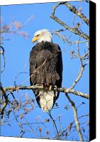 Bald Eagle Canvas Prints - Bald eagle in Squamish British Columbia Canvas Print by Pierre Leclerc