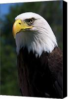 Bald Canvas Prints - Bald Eagle Canvas Print by JT Lewis