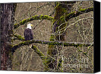 Bald Eagle Canvas Prints - Bald Eagle on Mossy Branch Canvas Print by Sharon  Talson