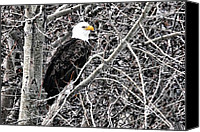 Eagles Canvas Prints - Bald Eagle watches Canvas Print by Don Mann