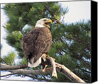 Featured Special Promotions - Bald Eagle with Fish for her Baby Eaglets Canvas Print by Mitch Spillane