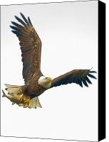 Bald Eagle Canvas Prints - Bald Eagle With Fish Canvas Print by William Jobes