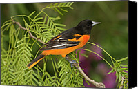 Oriole Canvas Prints - Baltimore Oriole Icterus Galbula Male Canvas Print by Tom Vezo