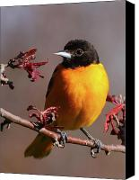 Oriole Canvas Prints - Baltimore Oriole II Canvas Print by Bruce J Robinson