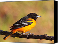 Oriole Canvas Prints - Baltimore Oriole III Canvas Print by Bruce J Robinson