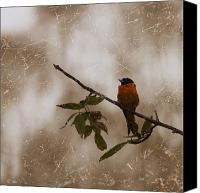 Oriole Canvas Prints - Baltimore Oriole Canvas Print by Nina Stavlund