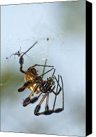 Insect Photography Canvas Prints - Banana Spider Feast Canvas Print by Carolyn Marshall