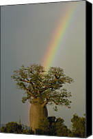 Berenty Canvas Prints - Baobab Adansonia Sp And Rainbow Canvas Print by Pete Oxford