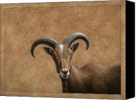 Goat Drawings Canvas Prints - Barbary Ram Canvas Print by James W Johnson