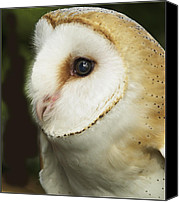 Barbara Middleton Canvas Prints - Barn Owl Close-up Canvas Print by Barbara Middleton