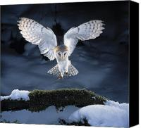 Aves Canvas Prints - Barn Owl Landing Canvas Print by Manfred Danegger and Photo Researchers