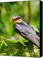 Swallow Canvas Prints - Barn Swallow In Sunlight Canvas Print by Robert Frederick