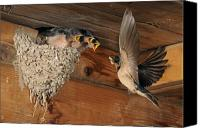 Swallow Canvas Prints - Barn Swallows at Nest Canvas Print by Scott  Linstead